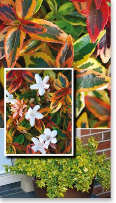 Abelia Kaleidoscope (2.5H x 3.5W) is a small evergreen shrub with unique foliage that changes colors through all seasons. The new variegated growth emerges bright yellow with a light green center int spring, gradually turning golden yellow with a deep green center in summer. By autumn this combination turns bright orange to fiery red, lasting through winter until early spring.