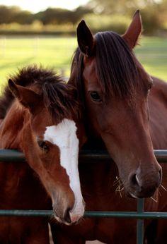 """C'è chi sceglie un #cavallo per #amico. Imparare a conoscerne """"parole"""" e """"gesti""""è dunque importante. Se il cavallo muove il labbro superiore da destra a sinistra e viceversa ha fame, se invece guarda qualcosa frontalmente e porta la testa bassa ne sta valutando la distanza.  Se sbuffano annusando qualcosa, la reputano pericolosa o interessante. Nitriscono quando due compagni vengono divisi o quando sono eccitati, e a volte per richiamare l'attenzione se il cibo  ritarda."""