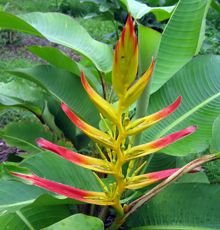 Heliconia lingulata 'Red Tip Fan'