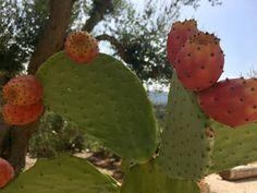 Feigenkaktus mit reifen Früchten  #puglia #Apulien #apulua #www.fiancoafianco.eu