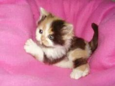 Looks like the kitten version of my first cat <3