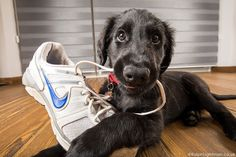 Shoes are so tasty! Funny Dog Photos, Funny Animal Pictures, Funny Dogs, Animal Pics, Pet Dogs, Dogs And Puppies, Dog Cat, Doggies, Animals And Pets