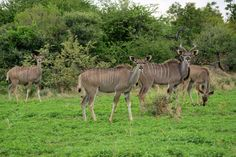 Young Kudus Animal Species, Nature Reserve, South Africa, Camel, Wildlife, Horses, Vacation, Animals, Vacations