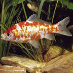 Miscellaneous Pond Fish
