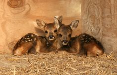 Roe deer twins, newly born at Hillside Animal Sanctuary after their mother was rescued. Please support their endless amazing work for all the animals they've saved.