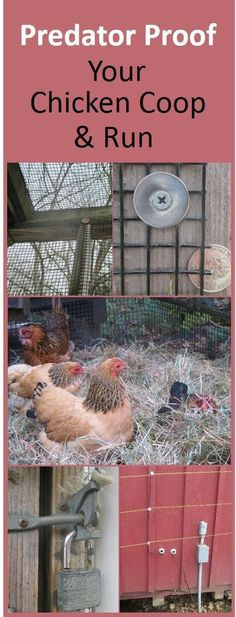 Predator proofing tips. Elevate the coop, enclose runs with properly secured half inch hardware cloth, create a skirt or underground fence, padlock the doors, and surround with electric wire in bear country. Chicken Coop Run, Portable Chicken Coop, Chicken Coup, Backyard Chicken Coops, Building A Chicken Coop, Chicken Runs, Chickens Backyard, Chicken Tractors, Chicken Life