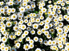 """daisies are such friendly flowers"" (quote from the movie ""you've got mail"")"