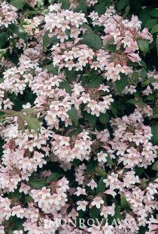 Kolkwitzia is an underrated shrub.