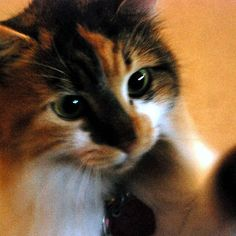 Calico Cat with Dilated Pupils