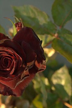 Black Rose, I've received one of these once, it's a beautiful flower but not a beautiful intent.