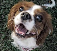 king cavalier spaniel | To view a complete gallery of pictures, just click on Pictures for ...