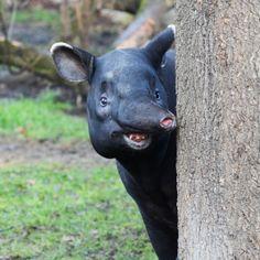 Tapir by Michael Kom