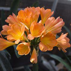 Colorado Clivia's plant number 2122.  Clivia miniata, Floradale Apricot x Umtamvuna.