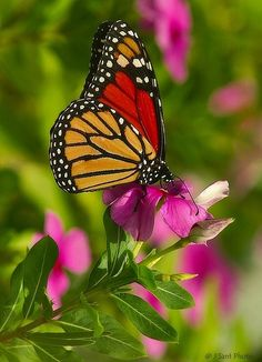 Types of Butterflies - Butterflies are one of the most adored insects for their enchanted beauty and representation of good luck and positive change. Butterfly Painting, Butterfly Wallpaper, Butterfly Flowers, Monarch Butterfly, Types Of Butterflies, Beautiful Butterflies, Beautiful Birds, Beautiful Butterfly Pictures, Butterfly Kisses