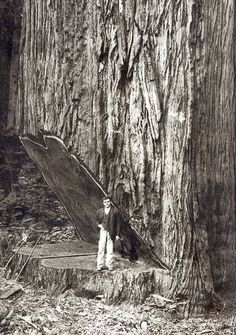 sequoia tree logging cutting down a coastal redwood by hand Vintage Pictures, Old Pictures, Old Photos, Giant Tree, Big Tree, Old Trees, Vintage Photographs, Historical Photos, Belle Photo