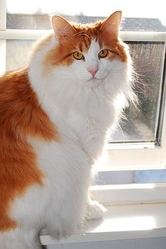 Norwegian Forest Cat. What a pretty kitty, I love his coloring.