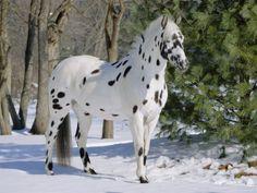 Appaloosa! My horse is half appy half arabian. But I wouldn't mind having a full blood