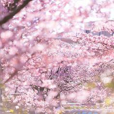 【hoku_x2】さんのInstagramをピンしています。 《さくら舞う * * 満開に咲く木がある中で 早くも花びらが散る木もありました😌🌸 * * #あたみ桜 #寒桜 #さくら #cherryblossoms #日本一早咲き #満開 #ザ花部 #team_jp_ #team_jp_flower #ig_japan #tokyocameraclub #東京カメラ部 #igs_world #bestjapanpics  #loves_nippon #loves_flowers #loves_blossoms #igersjp #icu_japan #wu_japan #igs_asia #myheartinshots #picture_to_keep #loves_garden #flowerstalking #igworldclub #instaflower #flowerstagram #はなまっぷ #ファインダー越しの私の世界》