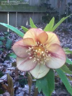 Christmas Rose, Hybrid Hellebore, Lenten Rose  'Golden Sunrise' (Helleborus)