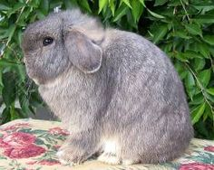 Rebecca's Rabbitry Holland Lop Color Guide in Washington State