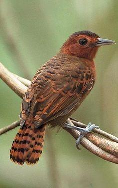 păsări eye eye chilli pierdere în greutate