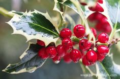 Evergreen trees and shrubs can provide shelter for birds during the winter months. Female hollies produce berries which are a popular food for birds in autumn and winter. Evergreen Trees, Trees And Shrubs, Winter Time, Winter Months, Big Garden Birdwatch, Easy Coffee, Variegated Plants, Garden Shrubs, Winter Garden
