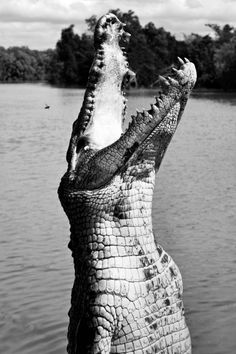 Saltwater crocodiles. Strongest bite force of any living animal, 7,000 PSI, or 1,000,000 Pounds per foot. Can go months without food, and digest metal.