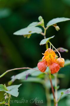 Homemade Medicine Made Simple: Jewelweed {The Anti-Itch Plant} recipe