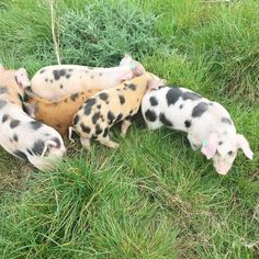 And so the cycle begins again. New arrivals at the allotment today. Tamworth/Old Spot cross. Happy out free ranging in the paddock. This is how pigs should be reared.