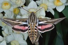 So pretty!!  whitel-lined sphinx (hummingbird hawk moth)