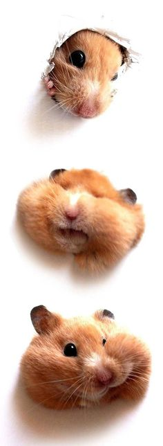 It looks like my old hamsters...... RIP Britain and Bella :((((