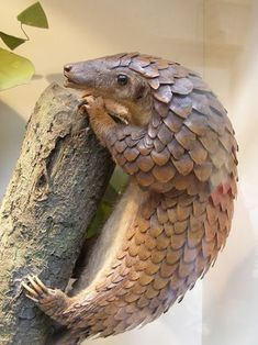 """A pangolin (also referred to as a scaly anteater or trenggiling) is a mammal of the order Pholidota. The one extant family, Manidae, has one genus, Manis, which comprises eight species. A pangolin has large keratin scales covering its skin, and is the only known mammal with this adaptation. It is found naturally in tropical regions throughout Africa and Asia. The name, pangolin, comes from the Malay word, pengguling, meaning """"something that rolls up""""."""