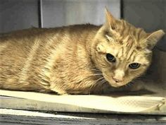 JIMMY – A1107216 - 7yrs NEUTERED MALE, ORG TABBY, DSH - BIG GUY - 28 LBS - GIVE THIS GORGEOUS BOY A NEW HOME!