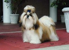 Resultado de imagen para imagenes de cachorros raza shih tzu
