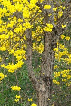 Ipê mulato Handroanthus umbellatus