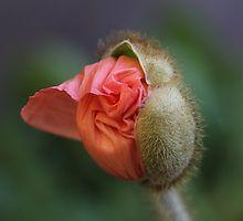 A poppy is born by PamelaJay