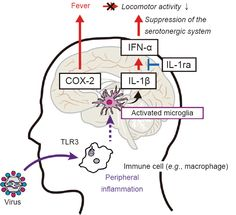 Fatigue sensation following peripheral viral infection is triggered by neuroinflammation: who will answer these questions? Yamato M, Kataoka Y - Neural Regen Res