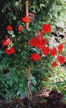 geranium tree - Google'da Ara