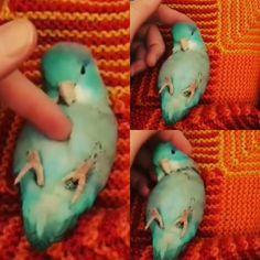 Adorable little parrotlet <3
