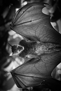 If you think that bats are vampires in disguise, look at these bat pictures which shows they aren't vampires but cute furry little creatures. Bats, the Beautiful Creatures, Animals Beautiful, Cute Animals, He's Beautiful, All About Bats, Bat Species, Bat Flying, Amor Animal, Bat Animal