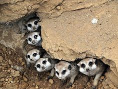 """""""Collective  curiosity"""" by Irawan Subingar    The meerkat or suricate is a small carnivoran belonging to the mongoose family. It is the only member of the genus Suricata. Meerkats live in all parts of the Kalahari Desert in Botswana, in much of the Namib Desert in Namibia and southwestern Angola, and in South Africa"""