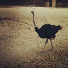 Stolzierender Strauß - swaggering ostrich