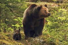 Elusive: Mr Meyers said it was difficult to get pictures because most of the time the bear...