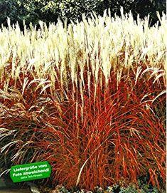 BALDUR-Garten Ziergras 'Indian Summer' Chinagras, Chinaschilf, 1 Pflanze Miscanthus sinensis