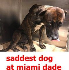 Robin #A1828201 This sweet baby has been at the shelter since early this month and he has now developed URI :( He's so sad he can barely lift up his head. All he wants is to love and be loved -- Miami Dade Animal Services Pet Adoption and Protection Center.