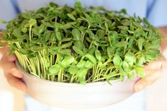 Learn How To Grow Microgreens on Your Windowsill