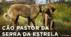 CÃO PASTOR DA SERRA DA ESTRELA