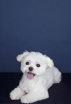 Cute Maltese Puppy. 투비 #lovepet #dogs #dogphotography #pets #petphotography #puppies #petography #dogfashion #강아지 #강아지사진 #반려동물 #반려동물촬영 #반려견촬영 #펫토그래피 #애견스냅 #애견스튜디오 #애견촬영 #애견사진 #애완동물촬영 #maltese #maltichon #bichonmaltese #말티즈 #비숑말티즈
