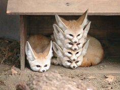 fennec fox stack