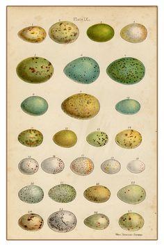 Classic bird egg collection print.